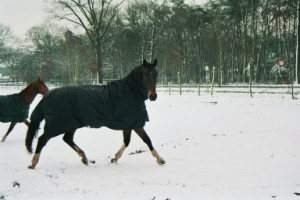 Paard_Oscar_Breezer_in Winter