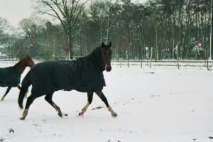 Paard_Oscar_Breezer_in Winter